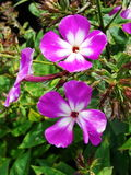 Pink phlox flowers in the garden. This is flowers of phlox. It is theme of seasons. Royalty Free Stock Image