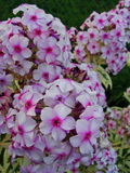 Pink phlox flowers in the garden. This is flowers of phlox. It is theme of seasons. Royalty Free Stock Photography