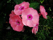 Pink phlox flowers in the garden. This is flowers of phlox. It is theme of seasons. Royalty Free Stock Photos