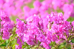 Pink phlox flowers Royalty Free Stock Image