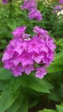 Pink Phlox Flowers On Green Background Leafs Stock Photo