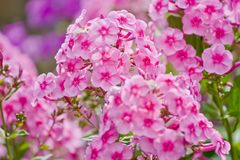 Pink phlox flowers. Outdoor in spring Stock Image