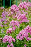 Pink phlox flowers. Outdoor in spring Stock Photo