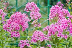 Pink phlox flowers. Outdoor in spring Royalty Free Stock Photo