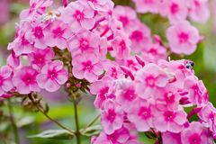 Pink phlox flowers. Outdoor in spring Royalty Free Stock Image