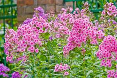 Pink phlox flowers. Outdoor in spring Stock Photography