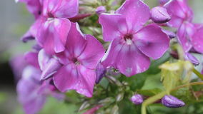 Pink phlox flowers after rain waving on winds stock video footage