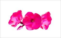 Pink Phlox Flowers Vector Illustration Stock Photography