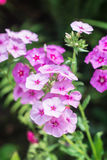 Pink phlox. On the garden flowerbed Royalty Free Stock Photography