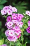 Pink phlox in the garden flowerbed. Pink phlox in the summer garden flower bed Stock Photo