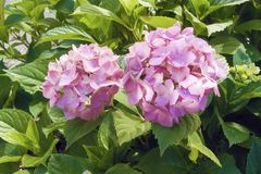 Pink phlox in green leaves. Pink phlox and green leaves in summer on a sunny day Stock Photography