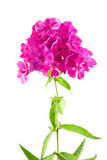 Pink phlox isolated Stock Photography