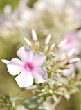 Pink phlox Royalty Free Stock Image