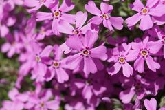 Pink Phlox plant - bloom detail stock photography