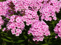 Pink phlox Royalty Free Stock Photography