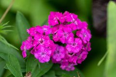 Pink phlox in soft focus close up royalty free stock images
