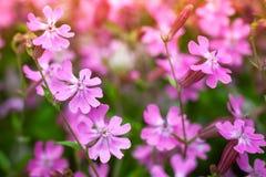 Pink phlox subulata or Creeping Phlox Royalty Free Stock Image