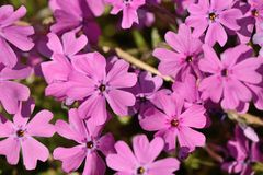 Pink Phlox subulata flowers Stock Photo