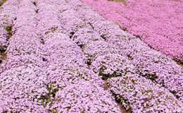 Pink phlox subulate Royalty Free Stock Photo