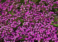 Pink Phlox subulate Stock Image