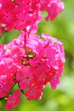 Pink phlox. Summer flower. Royalty Free Stock Photography