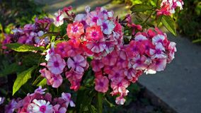 Pink phlox swinging on the wind stock footage