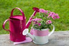 Pink phlox Royalty Free Stock Image