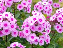Pink phloxes. Inflorescences flowers pink phloxes close up Stock Photos