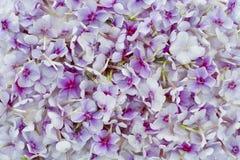 Pink phloxes background Stock Image