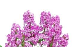 Pink phloxes on white Royalty Free Stock Photos