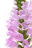 Pink Physostegia flower Royalty Free Stock Image