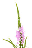 Pink Physostegia flower Royalty Free Stock Photography