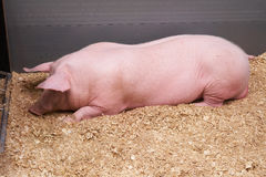 Pink pig. On agricultural exhibition Stock Photos