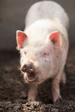 Pink pig Royalty Free Stock Photos