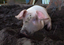 Pink pig with dirty snout digs the ground. Resting piglet on farm backyard. Royalty Free Stock Photo