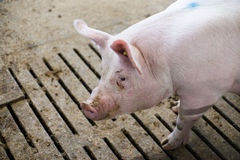 Pink pig in a dirty stable Stock Photography