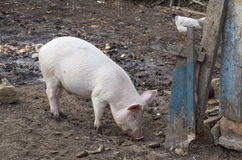 Pink pig is eating near old fence Stock Image