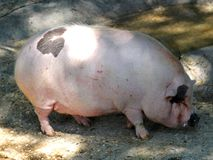 Pink pig fat rest with its huge grinding wheel inside the pigsty Stock Photos