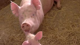 Pink pig lies on straw. Piglet touches face of sow. Piggie kisses its mother. Kindness of the animal stock footage