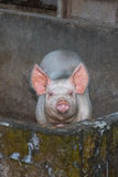 Pink pig looking at you close up portrait Stock Photography