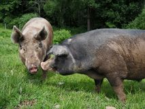 Two Pigs Kissing and Conversing. A pink pig with pointy ears and a black pig with floppy ears kissing or conversing royalty free stock photo