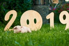 Pink pig resting and relaxing near wooden numerals of 2019 in garden. royalty free stock photo