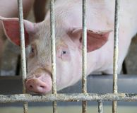 Pink pig's snout in the pigsty of the farm Royalty Free Stock Images