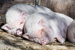 Pink pig sleeping Royalty Free Stock Photo