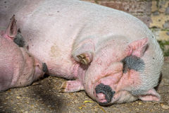 Pink pig sleeping Royalty Free Stock Photos