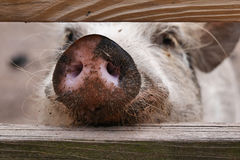 Pink Pig Snout. A curious pig pokes his pink nose through a fence Royalty Free Stock Photo