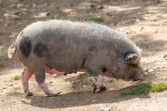 Pink pig. Walking, portrait, profile stock photo