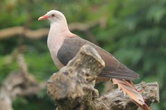 Pink pigeon Royalty Free Stock Images