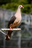 Pink pigeon. The pink pigeon is a rare and unique specie of native bird of Mauritius. It has been saved from extinction by the Durrell wild life conservation stock image