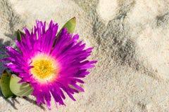Pink pigface flower. On sandy beach Stock Image